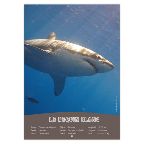 tichouik juin 2021 - le requin blanc